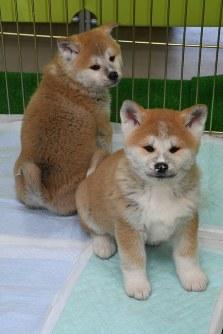 愛くるしい秋田犬の子犬たち=秋田県大館市で2017年12月15日午前10時50分、川村咲平撮影