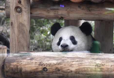 In Photos: Giant panda cub Xiang Xiang ready to go it alone