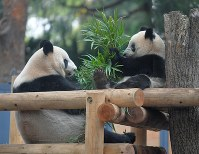 Giant panda cub Xiang Xiang, right, eats bamboo grass leaves with her mother Shin Shin at the Ueno Zoological Gardens in Tokyo's Taito Ward on Nov. 12, 2018. (Mainichi/Koichiro Tezuka)