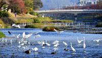 紅葉が進んだ鴨川沿いを歩いていると、鴨川デルタ付近の高野川にサギたちが群れていた=京都市上京区で、川平愛撮影