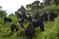 This 2014 photo provided by the Dian Fossey Gorilla Fund shows a group of mountain gorillas in Rwanda's Volcanoes National Park. (Dian Fossey Gorilla Fund via AP)