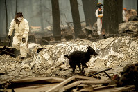 Search and rescue workers look for bodies of Camp Fire victims at the Holly Hills Mobile Estates in Paradise, California, on Nov. 14, 2018. (AP Photo/Noah Berger)