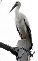 電柱の上で羽を休めるコウノトリのポンスニ=松江市八雲町西岩坂で、前田葵撮影