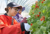 Truong Thi Kim Ngoc (foreground) harvests cherry tomatoes at Shizuo Farm in the city of Shibetsu in Japan's northernmost prefecture of Hokkaido on Sept. 29, 2018. (Mainichi/Tomohiro Katahira)