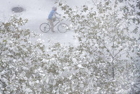 A cyclist is framed by snow covered leaves of a tree in lower Manhattan on Nov. 15, 2018, in New York. (AP Photo/Wong Maye-E)