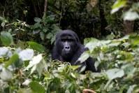 11月15日、国際自然保護連合(IUCN)は中央アフリカのマウンテンゴリラの分類を、「絶滅寸前(Critically Endangered)」から除外し、これより危険度の低い「絶滅危機(Endangered)」に再分類した。今年の調査で劇的な個体数回復がみられたためという。写真は3月ウガンダで撮影(2018年 ロイター/Baz Ratner)