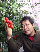 ミニトマト「赤糖房」を収穫する井上武利さん=和歌山県印南町西ノ地で、山本芳博撮影