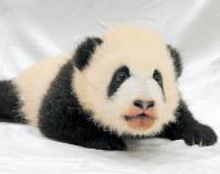 アドベンチャーワールドが名前の投票を呼びかけているジャイアントパンダの雌の赤ちゃん=和歌山県白浜町堅田の同園で2018年11月20日、アドベンチャーワールド提供