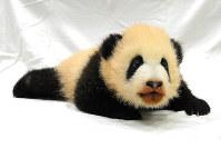 アドベンチャーワールドが名前の投票を呼びかけているジャイアントパンダの雌の赤ちゃん=同園提供