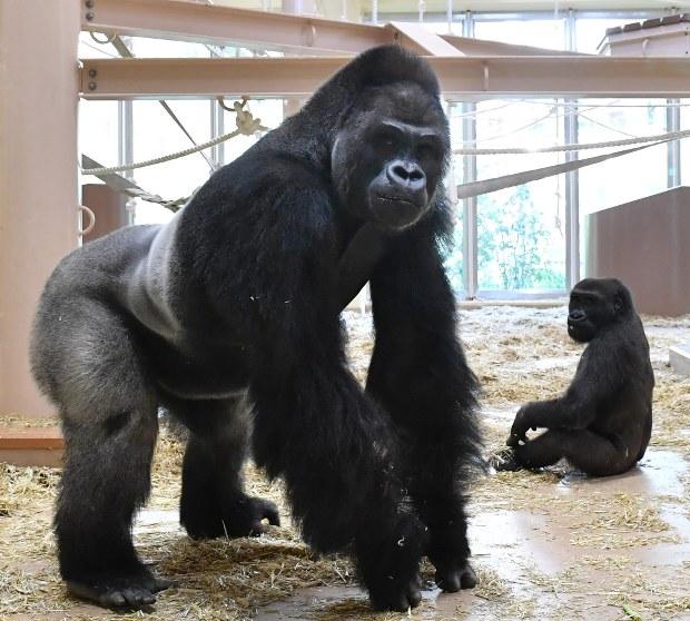 東山動植物園:ゴリラが46年ぶり人気首位奪還 - 毎日新聞