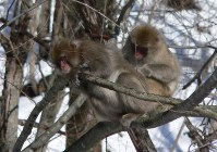 Two Japanese macaques are seen in the Fukushima Prefecture city of Fukushima in this photo provided by Fumiharu Konno from Shinichi Hayama's research team.