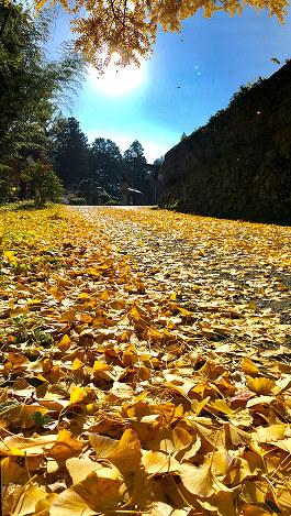 イチョウの葉が落ち、冬支度も佳境に(撮影・一見夏生)