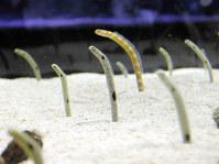 巣穴から顔をだしてゆらゆら揺れるチンアナゴとニシキアナゴ=東京都墨田区のすみだ水族館で11月9日、篠口純子撮影