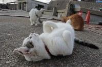"""新しくなった猫の家の前でゴロゴロする""""住人""""=伊勢湾の小さな漁港で2018年12月2日午前8時40分、山口政宣撮影"""