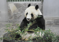 神戸市立王子動物園で飼育されているタンタン。2020年7月には貸与期限を迎える=神戸市灘区で、峰本浩二撮影