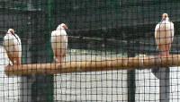試験的に公開される雄のトキ=島根県出雲市西新町2で、鈴木周撮影