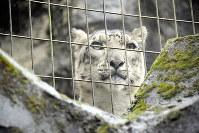 顔の幅より長いヒゲが生えているホワイトタイガー=東京都日野市にある多摩動物公園で11月9日、大熊真里子撮影