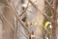 アファンの森にやってきたミソサザイ=C・W・ニコル・アファンの森財団提供