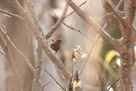 A wren is seen perched in a tree in the Afan Woodlands. (Photo courtesy of the C. W. Nicol Afan Woodland Trust)
