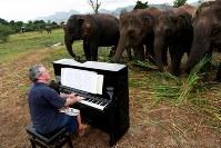 タイのカンチャナブリ県にあるゾウの保護施設「エレファンツ・ワールド」では、ピアノの演奏により、疲れ傷ついたゾウを癒やす試みが行われている。写真は、演奏する英国人ピアニスト、ポール・バートンさんとゾウたち。9日撮影(2018年 ロイター/SOE ZEYA TUN)