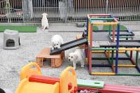 富士ハーネスで生まれた生後約2カ月の子犬たち=静岡県富士宮市の富士ハーネスで2018年10月、高場悠撮影