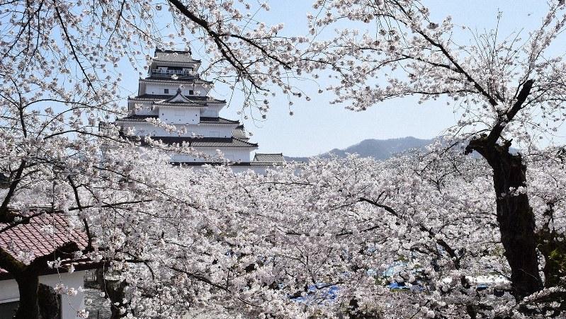 若松城の桜=2015年4月18日、喜浦遊撮影