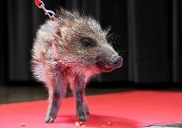 A baby wild boar is seen on stage at Tsutenkaku Tower in Osaka's Naniwa Ward on Dec. 27, 2018, for an event marking the change from the Chinese zodiac's Year of the Dog in 2018 to the Year of the Wild Boar in 2019. (Mainichi/Kazuki Yamazaki)