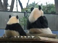 Giant panda cub Xiang Xiang, left, eats bamboo grass leaves with her mother Shin Shin at Ueno Zoological Gardens in Tokyo's Taito Ward on Nov. 12, 2018. (Mainichi/Koichiro Tezuka)