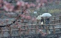 桜が咲き始めた井の頭恩賜公園で雪の中を歩く人たち=東京都三鷹市で2018年3月21日、藤井達也撮影