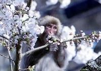桜の花を食べる猿=長野県駒ケ根市赤穂で2018年4月10日、山口政宣撮影