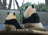並んで笹の葉を食べるシャンシャン(左)と母親シンシン。独り立ちに向けて準備が始まり、一緒にいられるのもあと少しの時間だ=東京都台東区の上野動物園で2018年11月12日午前9時45分、手塚耕一郎撮影