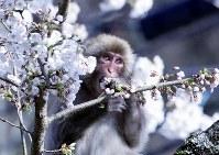 桜の花を食べる猿=駒ケ根市赤穂で2018年4月10日、山口政宣撮影