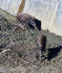 迷い込んだ2頭のイノシシ=北九州市門司区北川町の砂防施設で2018年10月25日、下原知広撮影