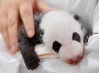 公開された赤ちゃんパンダ。後に「彩浜」と名付けられた=和歌山県白浜町のアドベンチャーワールドで2018年9月13日、猪飼健史撮影