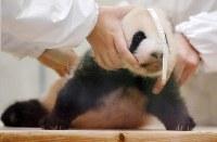 体長の測定をするジャイアントパンダの赤ちゃん。後に「彩浜」と名付けられた=和歌山県白浜町のアドベンチャーワールドで2018年11月1日、猪飼健史撮影