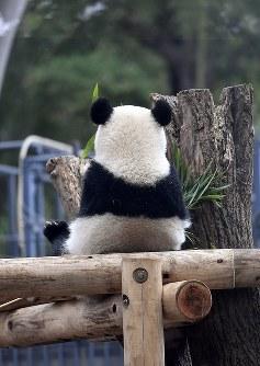 独り立ちに向け、母親シンシンと離れて暮らし始めたジャイアントパンダのシャンシャン=東京都台東区の上野動物公園で2018年11月13日、藤井達也撮影