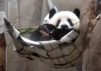 「誕生日プレゼント」として新たに設置されたハンモックで遊ぶシャンシャン=東京都台東区の上野動物園で2018年6月11日、藤井達也撮影