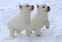 2017年11月末に生まれた北海道犬のオス二匹。雪の上でも元気に駆けまわる=札幌市白石区で2018年1月7日、梅村直承撮影