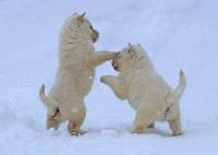 2017年11月末に生まれた北海道犬のオス二匹。雪の上でも元気にじゃれる=札幌市白石区で2018年1月7日、梅村直承撮影