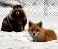 北きつね牧場で見られるキツネとタヌキの2ショット=北海道北見市で2018年3月20日、竹内幹撮影