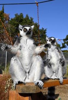 両手を広げて日光浴をするワオキツネザル=愛知県犬山市で2018年11月29日、大西岳彦撮影