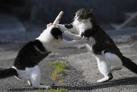 餌場でけんかをする猫たち。島民によると不妊去勢手術によって性格が穏やかになり、以前よりけんかの頻度は減っているという=愛媛県大洲市の青島で2018年10月22日、久保玲撮影