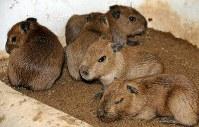 生まれたばかりのカピバラの赤ちゃんたち=草津町草津の「草津熱帯圏」で2018年3月7日、吉田勝撮影
