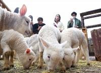 この冬に生まれ、日々成長するヒツジ=熊本県西原村で2018年3月1日、津村豊和撮影