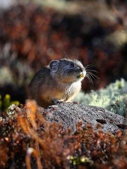 葉をくわえたまま、岩の上でたたずむエゾナキウサギ=北海道鹿追町で2018年10月25日、貝塚太一撮影