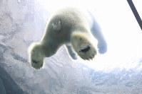 円山動物園の新しい施設「ホッキョクグマ館」では、ホッキョクグマがトンネルの上に立つ姿を下から見ることができる=札幌市中央区で2018年3月9日午前、梅村直承撮影