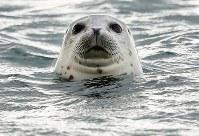 海からひょっこり顔を出して様子をうかがうゴマフアザラシ=北海道稚内市で2018年11月20日、貝塚太一撮影