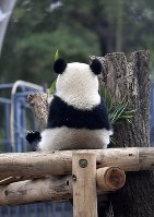 The giant panda cub Xiang Xiang spends time apart from her mother Shin Shin at a display room at Ueno Zoological Gardens in Tokyo's Taito Ward on Nov. 13, 2018. (Mainichi/Tatsuya Fujii)