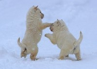 Male Hokkaido dog puppies born at the end of November 2017 play in the snow, showing their white fur, in Sapporo's Shiroishi Ward in the northernmost prefecture of Hokkaido on Jan. 7, 2018. (Mainichi/ Naotsune Umemura)
