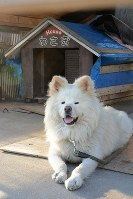 The Akita dog Wasao known for his